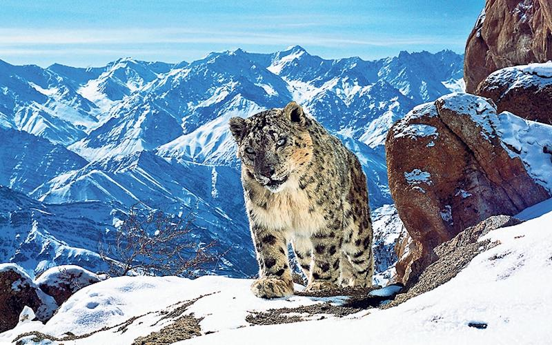 The prowling snow leopard is master of this wilderness - WARNING: Use of this copyright i