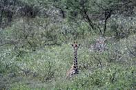 A Rothschild subspecies of giraffe on Lake Baringo faces the threat of rising lake waters