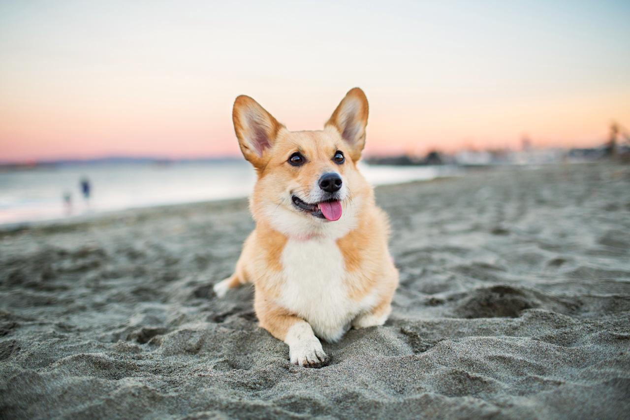 """<p><a href=""""https://www.akc.org/dog-breeds/pembroke-welsh-corgi/"""">Corgis</a> always seem to have a smile on their face, with a friendly mood and demeanor to match. The Pembroke, in particular, is a """"bright, sensitive dog"""" that enjoys playtime and is a great match for someone who always wants to be on the go, Dr. Klein says. """"Though their legs may be short, they are energetic and good for energetic seniors, too.""""</p>"""