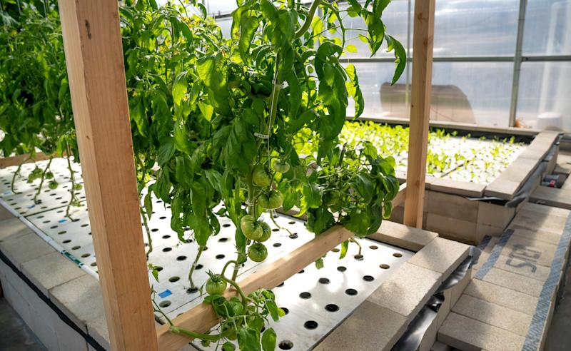 Tomatoes grow via aquaponics at the Ecolife Innovation Center in northern San Diego County. (Ecolife)