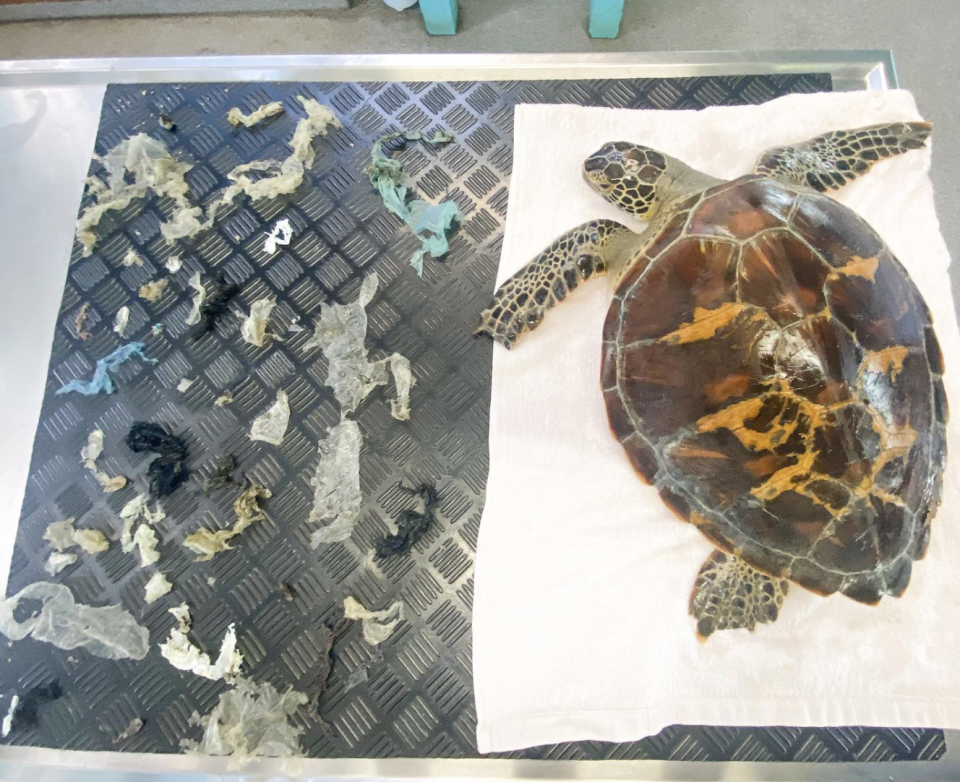 A green sea turtle is pictured with plastic debris removed from her stomach.