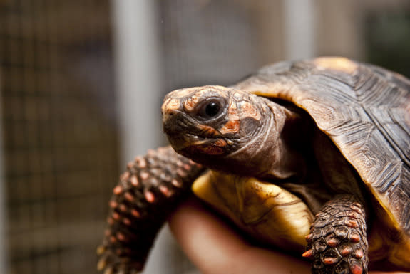 Tortoises Show Off Smarts by Mastering Touch-Screen Tech