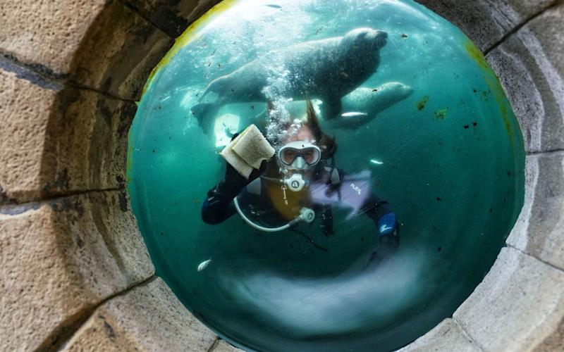Diver inside tank cleans window with seals in background - PA
