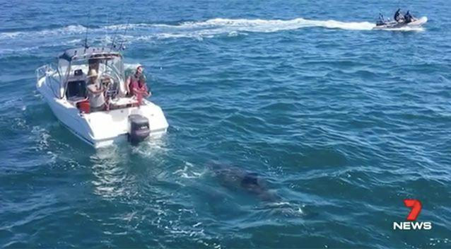The shark hovering around a fisher's boat in South Australia. Source: 7 News
