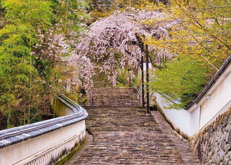 The beauty of the cherry blossoms when looking up the 399-step stairway is exceptional