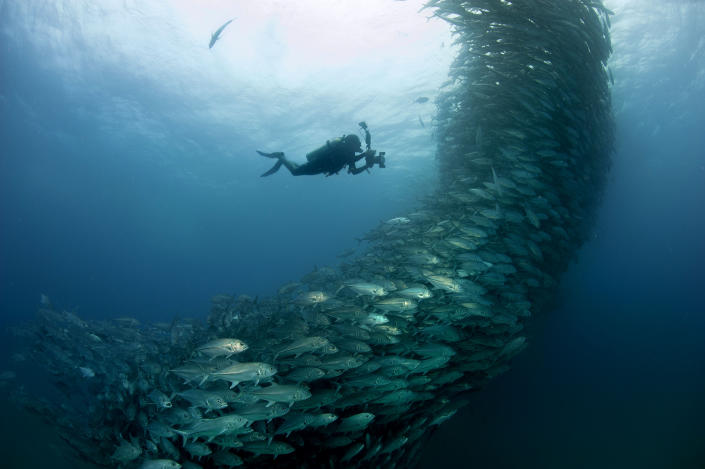 PIC BY OCTAVIO ABURTO / CATERS NEWS - (PICTURED The swirling fish swim past diver David Castro with his camera) - Smile - its the school photo! This is the hilarious moment a marine photographer managed to capture hundreds of wide-eyed fish apparently posing for a picture. Californian photographer and conservationist Octavio Aburto had spent years photographing the school in Cabo Pulmo National Park, Mexico - and had been trying to capture this exact shot for three years. The Bigeye travellies fish gather in their thousands in the oceans during courtship. SEE CATERS COPY