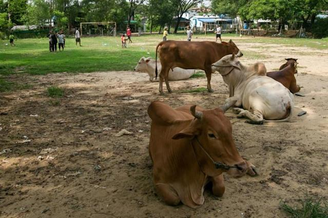 Obstacle course: Myanmar's Litle Dragons often have to sidestep cattle, and cowpats, during training (AFP Photo/Sai Aung MAIN)