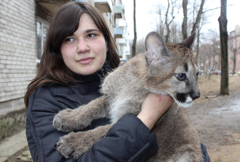 CORRECTS PERIOD SINCE CUBS WERE REMOVED FROM MOTHER - Rasa Veliute holds a four- month- old puma who lives in her apartment in Klaipeda, Lithuania, Friday, April 12, 2013. 23 year old Veliute, a volunteer at a private zoo in Klaipeda seaport says she took three cubs home four months ago when their mother refused to care for them. Veliute said Friday the pumas have grown fast and will have to be returned to the zoo this summer. (AP Photo/ Ausra Pilaitiene)