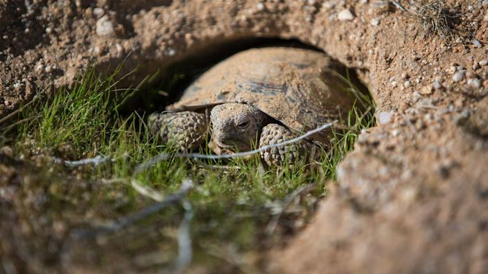"""Environmentalists fear that some green projects could endanger vulnerable species. Above, a young desert tortoise pops out of his burrow at the Marine Corps Air Ground Combat Center in Twentynine Palms. <span class=""""copyright"""">(Gina Ferazzi / Los Angeles Times)</span>"""