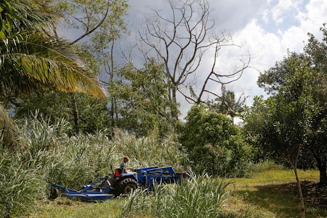 <p>Mark Clawson, 64, mows his macadamia nut orchard beneath trees sickened by volcanic gases on the outskirts of Pahoa during ongoing eruptions of the Kilauea Volcano in Hawaii, June 6, 2018. (Photo: Terray Sylvester/Reuters) </p>