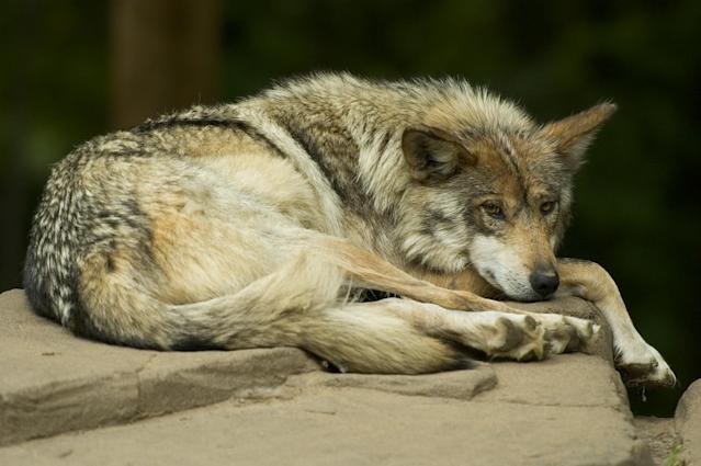 A critically endangered Mexican Gray Wolf