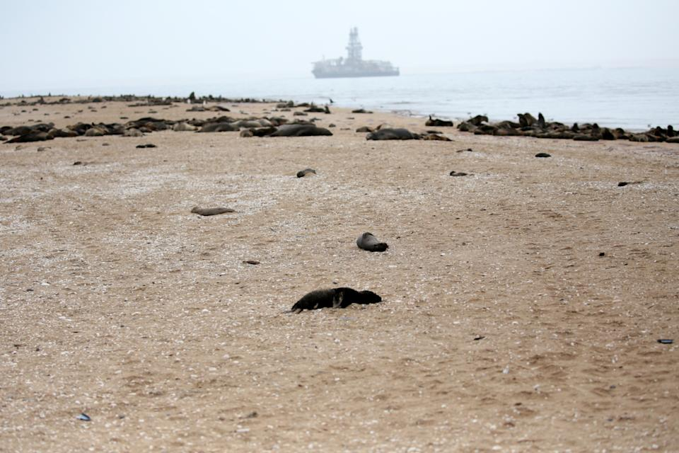 At Pelican Point, dead seal foetuses lie on the beach, more than 5000 foetuses have been observed.