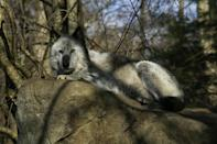 A wolf rests at the Wolf Conservation Center in South Salem, New York