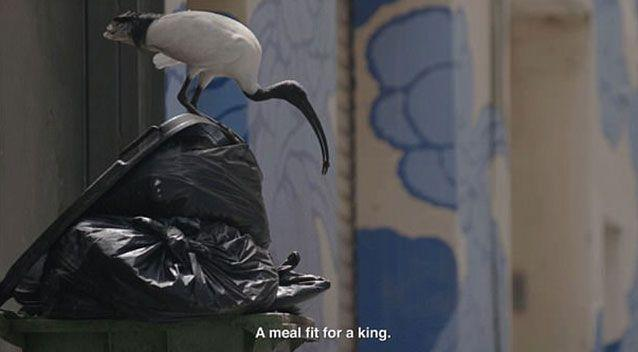 The now infamous 'bin chicken' dining from a garbage bin. Source: YouTube