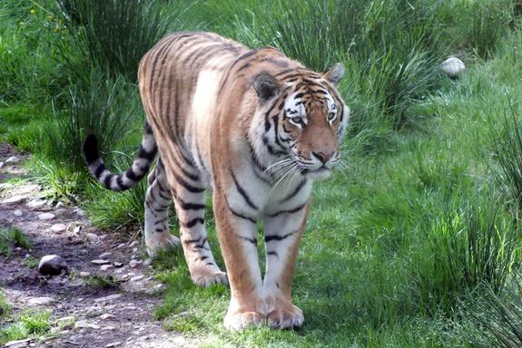 Bizarre Behavior in Endangered Tigers Traced to Dog Virus