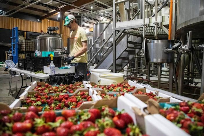 Lead Experimental Brewer Alex Leonard cleans North Carolina grown strawberries to be used in a batch of beer at Trophy Brewing Company's Maywood Avenue location in Raleigh Tuesday, May 19, 2020. Trophy started kegging more beers and brewing limited small batches in anticipation of selling to more restaurants as coronavirus restrictions are lifted. Chief Brewing Officer Les Stewart says they are taking a more cautious wait-and-see approach with the dine-in side of the business.