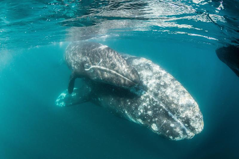 A gray whale mother and calf. (Photo: Robert Harding Picture Libr. Ltd via Getty Images)