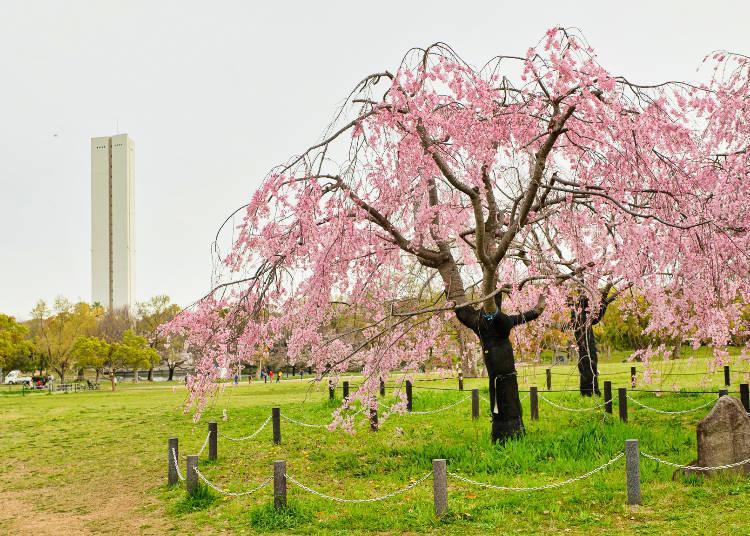 The spreading branches of the weeping cherry tree are wonderful!