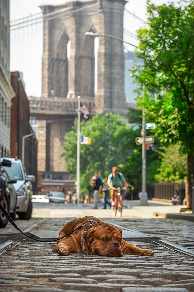 <p>French Mastif rests near the iconic Brooklyn Bridge. While very affectionate, this breed is also known to be quite flatulent, which can be handy when you want to clear a room. (Photo: Mark McQueen/Caters News) </p>