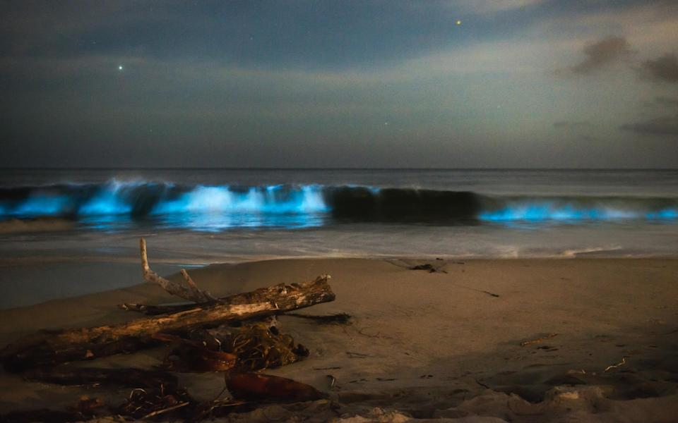 Bioluminescence is the production and emission of light by a living organism - Getty