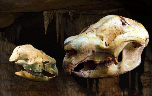 The adult and baby skulls of a sheep-sized diprotodontoid marsupial called Nimbadon, discovered in a 15 million year old fossil cave in north western Queensland