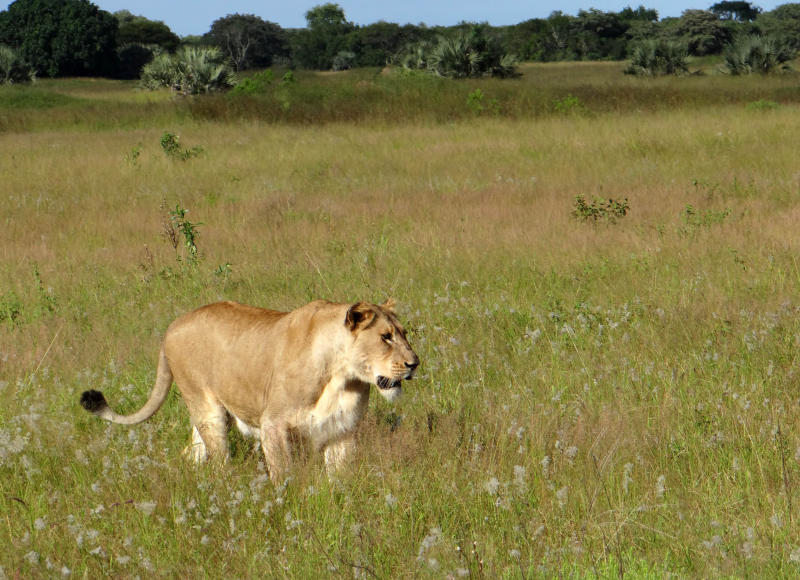 FILE - This photo taken April 2012 shows a lioness walking through the tall grass in the Phinda Private Game Reserve, near Hluhluwe, South Africa. The lions that roam Africa's savannahs have lost as much as 75 percent of their habitat in the last 50 years as humans overtake their land and the lion population dwindles, said a study released by researchers at Duke University Tuesday, Dec. 4, 2012. (AP Photo/Matthew Craft-file)
