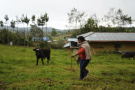The future first lady of Peru, Lilia Paredes, 48, leads a calf on her property in the rural hamlet of Chugur, Peru, Thursday, July 22, 2021. Her husband, leftist Pedro Castillo catapulted from unknown to president-elect with the support of the country's poor and rural citizens, many of whom identify with the struggles the teacher has faced. (AP Photo/Franklin Briceno)