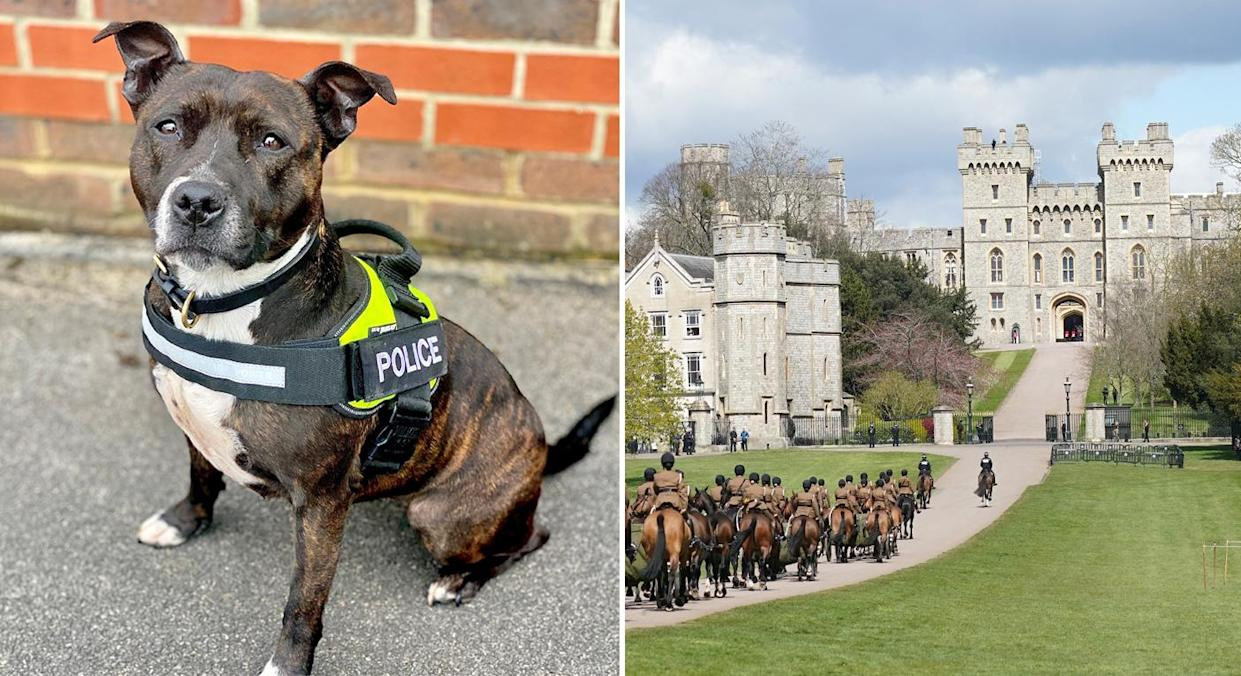 Roxy is a rescue Staffie and the first one to become a police explosive sniffer dog. (PA/Getty)