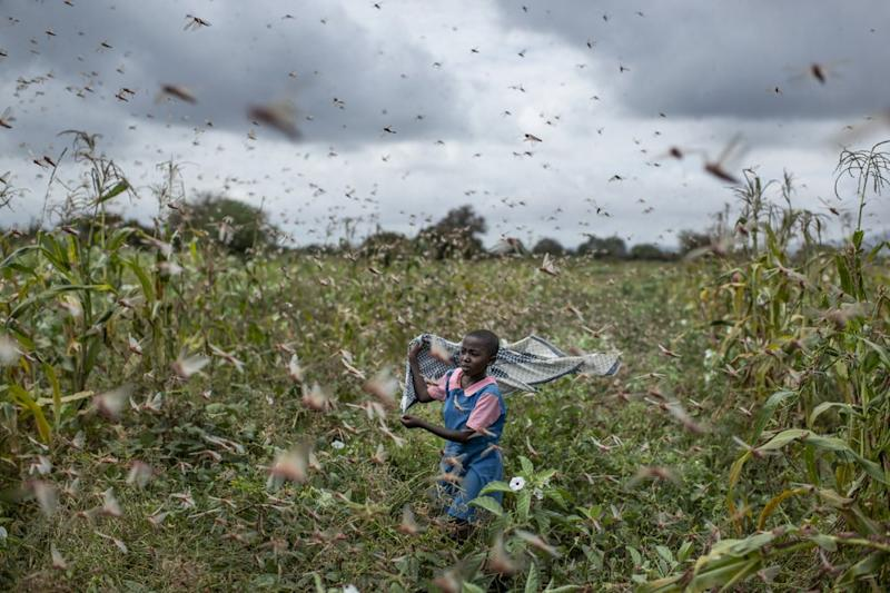 A farmer's daughter waves her shawl in the air to try to chase away swarms of desert locusts from her crops, in Katitika village, Kenya