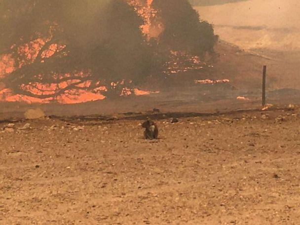 PHOTO: A koala stands in the field with bushfire burning in the background, in Kangaroo Island, Australia Jan. 9, 2020 in this still image obtained from social media. (Paul's Place Wildlife Sanctuary via Reuters)