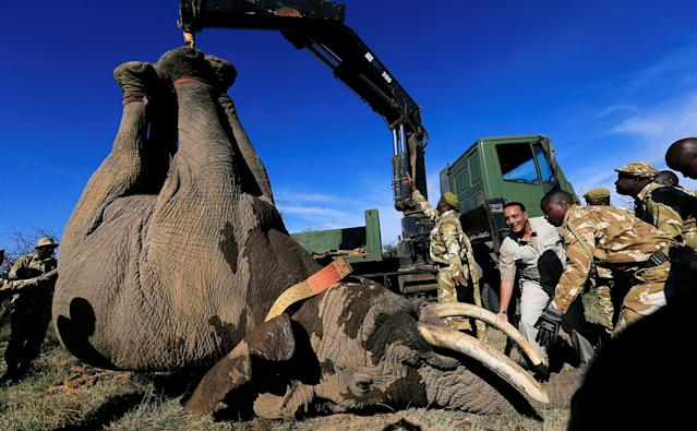 <p>Kenya's Cabinet Secretary for Tourism Nabjib Balala (C) and Kenya Wildlife Service (KWS) rangers load a tranquillized elephant on to a truck during a translocation exercise to Ithumba Camp in Tsavo East National Park, in Solio ranch in Nyeri County, Kenya, Feb. 21, 2018. (Photo: Thomas Mukoya/Reuters) </p>