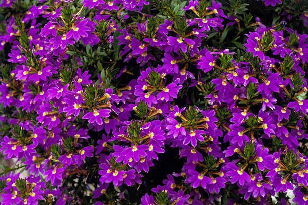 """<p>This low-growing annual in shades of pink, purple and white is lovely tumbling over the edges of pots and window boxes. Fan flower blooms all summer long without the need to deadhead, or remove spent flowers. Needs full sun.</p><p>Varieties to try: Whirlwind Blue, Whirlwind Pink</p><p><a class=""""link rapid-noclick-resp"""" href=""""https://go.redirectingat.com?id=74968X1596630&url=https%3A%2F%2Fwww.homedepot.com%2Fp%2FPROVEN-WINNERS-4-Pack-4-25-in-Grande-Laguna-Sky-Blue-Lobelia-Live-Plant-Light-Blue-Flowers-LOBPRW1027524%2F301577906%3Fsource%3Dshoppingads%26locale%3Den-US%26mtc%3DShopping-B-F_D28O-G-D28O-28_8_LIVE_GOODS-NA-NA-NA-SMART-NA-NA-SMART_SHP%26cm_mmc%3DShopping-B-F_D28O-G-D28O-28_8_LIVE_GOODS-NA-NA-NA-SMART-NA-NA-SMART_SHP-71700000064169154-58700005694172116-92700051912266616%26gclid%3DCjwKCAjw9MuCBhBUEiwAbDZ-7iRdMFFPHBU0-l69tVd7MZkB--0Z4Al6Gk0o9J-HO5X-je_3DC2gCBoC7PkQAvD_BwE%26gclsrc%3Daw.ds&sref=https%3A%2F%2Fwww.housebeautiful.com%2Fentertaining%2Fflower-arrangements%2Fg2411%2Fpopular-flowers-summer%2F"""" rel=""""nofollow noopener"""" target=""""_blank"""" data-ylk=""""slk:SHOP NOW"""">SHOP NOW</a></p>"""