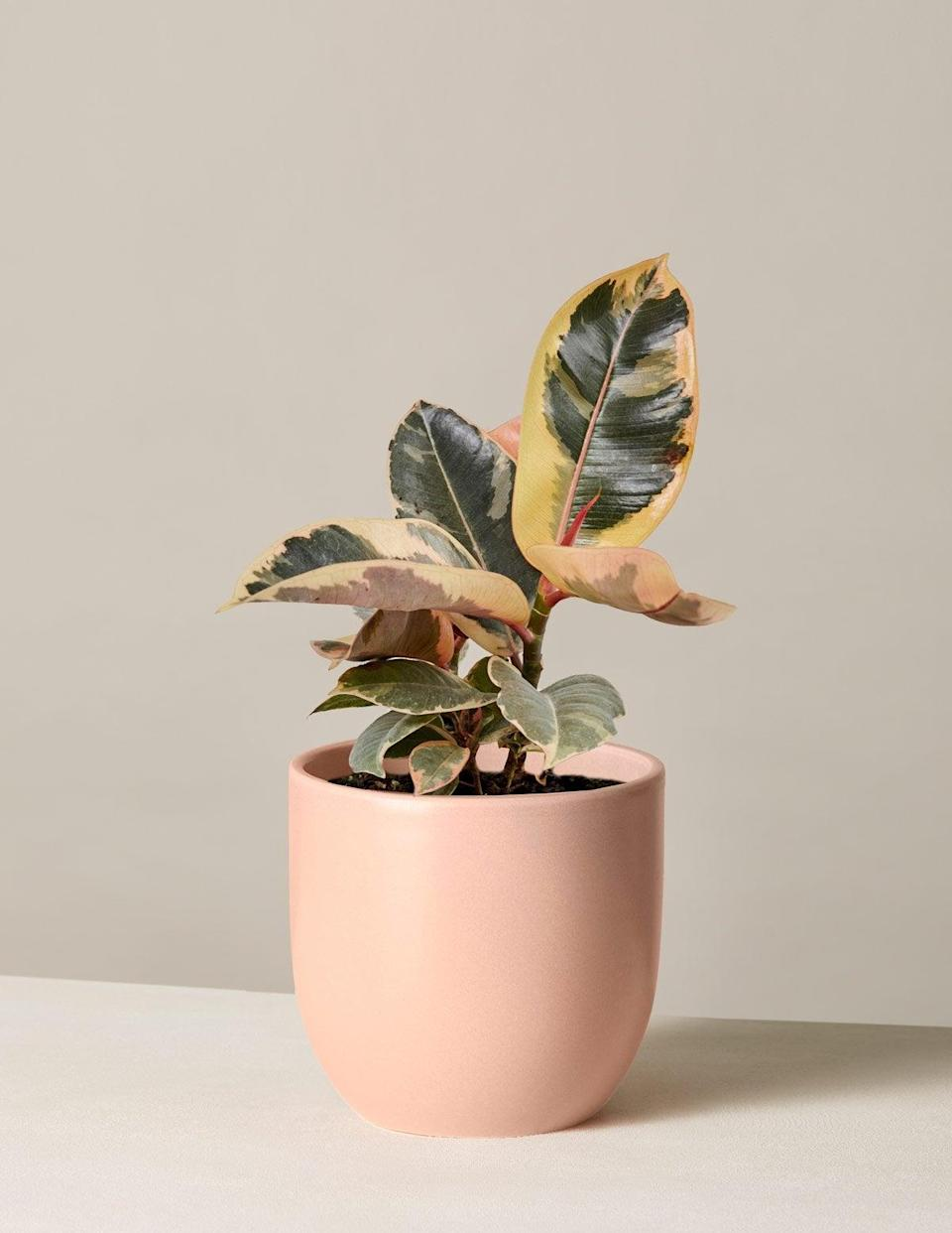 """<h2>Ficus</h2><br>A ficus can reduce mold and bacteria and remove formaldehyde in any room, per Bloomscape's Plant Mom. This plant variety is """"very tolerant of neglect and can be grown with very little experience,"""" she adds.<br><br><em>Shop</em> <strong><em><a href=""""http://thesill.com"""" rel=""""nofollow noopener"""" target=""""_blank"""" data-ylk=""""slk:The Sill"""" class=""""link rapid-noclick-resp"""">The Sill</a></em></strong> <br><br><strong>The Sill</strong> Ficus Tineke, $, available at <a href=""""https://go.skimresources.com/?id=30283X879131&url=https%3A%2F%2Fwww.thesill.com%2Fproducts%2Fficus-tineke"""" rel=""""nofollow noopener"""" target=""""_blank"""" data-ylk=""""slk:The Sill"""" class=""""link rapid-noclick-resp"""">The Sill</a>"""