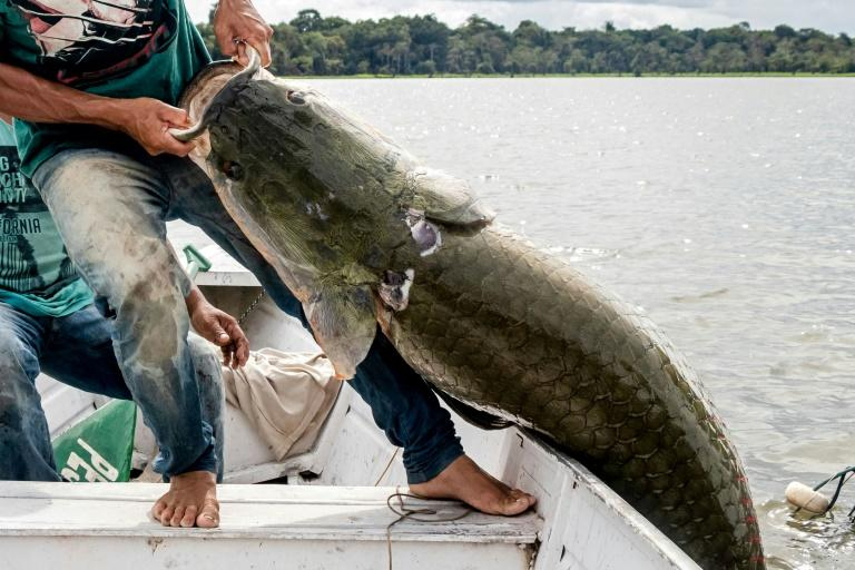 Fishermen land a pirarucu -- one of the world's biggest freshwater fish -- at the Amana Sustainable Development Reserve in Brazil's Amazonas state (AFP Photo/HO)