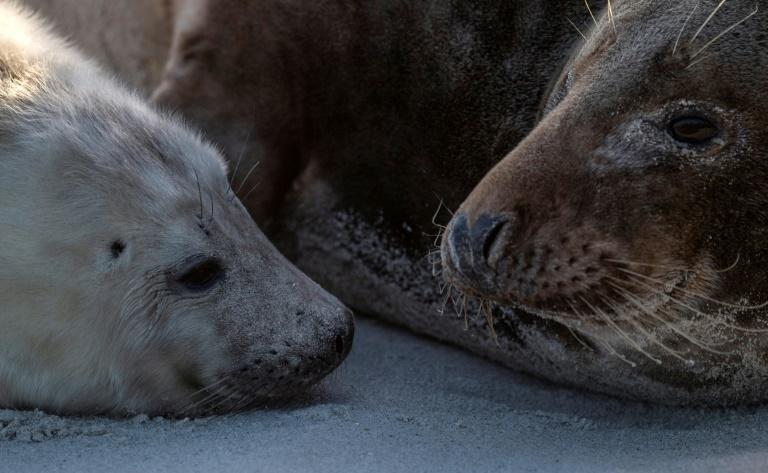 According to the Jordsand society, dedicated to preserving North Sea coastal life, more than 520 seals have been born on the island since November
