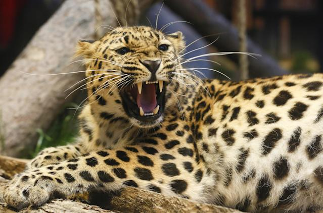 Teetering on the brink of extinction, the Amur Leopard is poached largely for its beautiful, spotted fur.