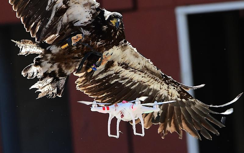 A young eagle attempts to catch a drone during a demonstration organized by Dutch police to combat drones flying over sensitive or restricted areas, at the Dutch Police Academy in Ossendrecht, Netherlands on September 12, 2016 (AFP Photo/Emmanuel Dunand)