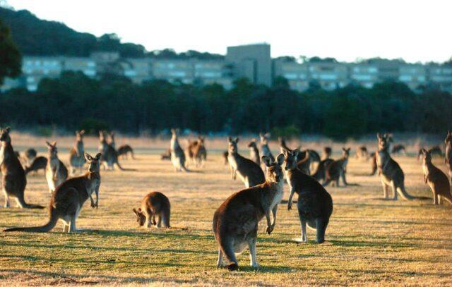 Culling Of Kangaroos Due To Overpopulation In Australia