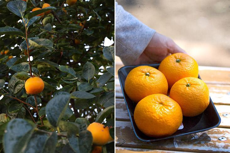 Evergreen citrus trees offer a cornucopia of fruits such as 'mikan' and 'yuzu.'