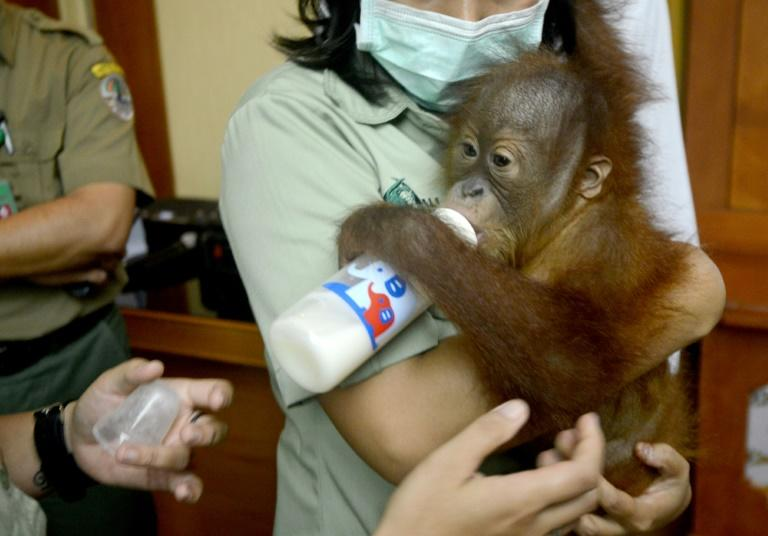 An officer holds Bon Bon, the baby orangutan, after it was discovered in the luggage of a Russian tourist in Bali in March 2019 (AFP Photo/SONNY TUMBELAKA)
