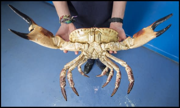Huge crab with gigantic claws caught in the English Channel