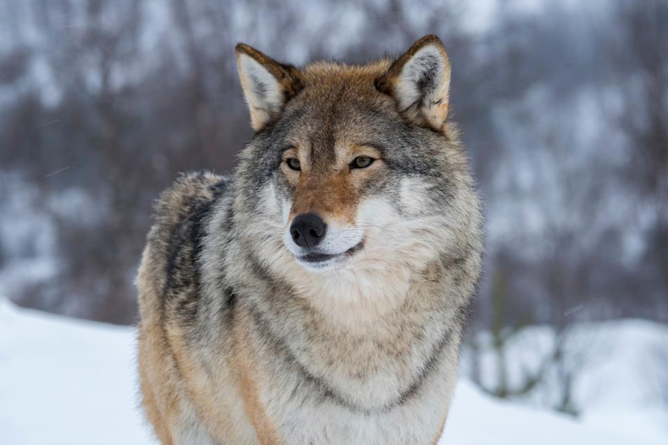 The U.S. Fish and Wildlife Service has announced that Endangered Species Act protections will be lifted for gray wolves across the lower 48 states. (Photo: Wolfgang Kaehler/LightRocket via Getty Images)