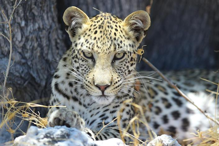 A leopard stares right into the camera lens as he finds relief from sun under a tree in Etosha National Park. I sat and waited for hours waiting for this beauty to move and to capture this shot. (Photo: Gordon Donovan/Yahoo News)
