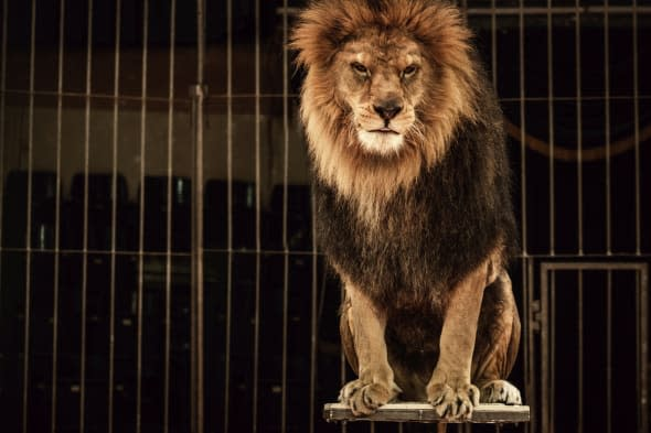 Scandal: British circus lions 'stressed' and prodded with sticks