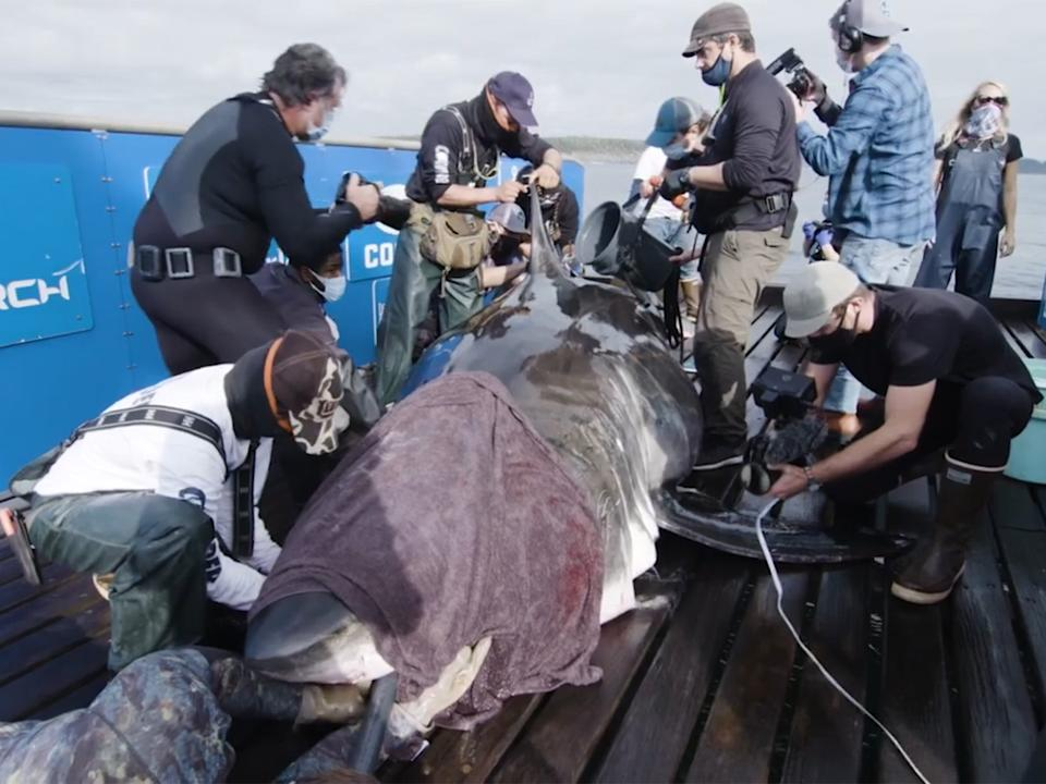 Scientists say Nukumi will provide heaps of new data due to her sizeOcearch