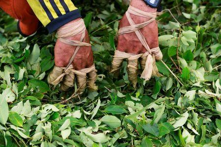 The wrapped fingers of a raspachin, a worker who collects coca leaves, are seen during the harvest of the leaves on a small coca farm in Guayabero, Guaviare province, Colombia, May 23, 2016. REUTERS/John Vizcaino