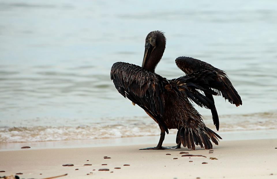 A pelican coated in oil stands on the beach in Ship Island, Mississippi, in July 2010, weeks after the Deepwater Horizon oil spill started. (Photo: Staff Photographer / Reuters)