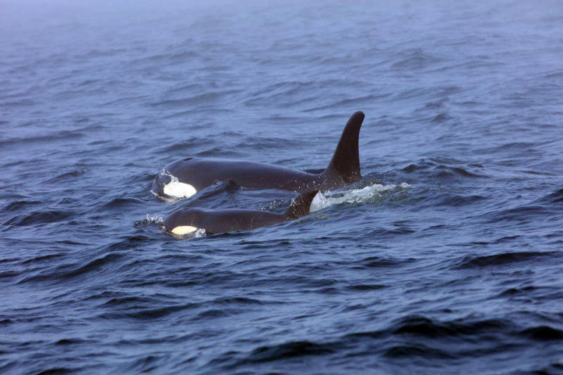 On Aug. 7, 2018, a southern resident orca, known as J50, is shown swimming with her mother, J16, near the west coast of Vancouver, British Columbia. (Brian Gisborne/Fisheries and Oceans Canada via AP)