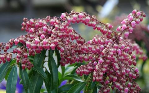 Pieris japonica 'Valley Valentine' - Credit: Philippa Gibson
