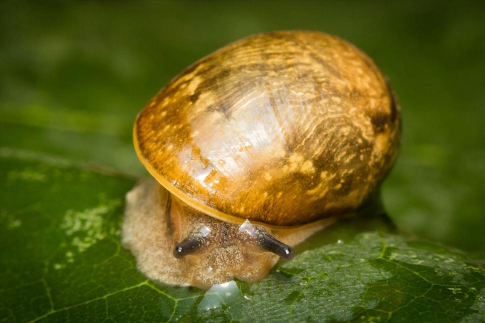 <p><strong>Kanab Ambersnail - </strong>With decreasing natural habitats, this little snail is critically endangered. Only two wild natural populations are known to exist. </p>
